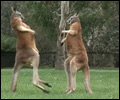 Fighting Kangaroos